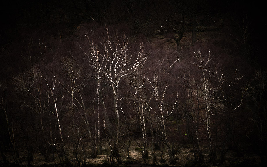 Birch trees at night