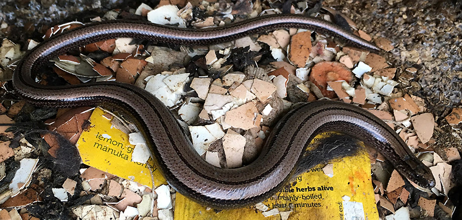 Slowworm on compost heap