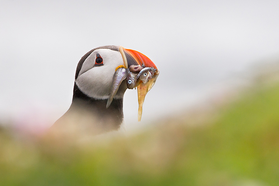 Puffin with many small fish in mouth
